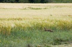 лисица Стоковое Изображение