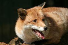 лисица Стоковые Изображения RF