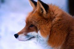 лисица Стоковые Фотографии RF