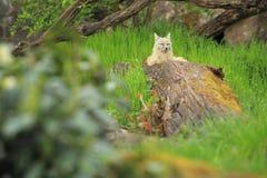 Лисица Corsac Стоковое фото RF