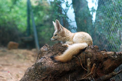 лисица fennec малая Стоковые Изображения RF