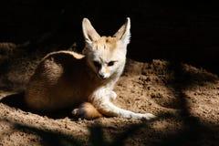 лисица fennec Стоковое фото RF