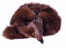 лисица s одежды Стоковое Фото