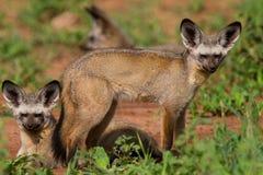 лисицы летучей мыши eared стоковые изображения