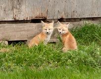 лисицы 2 детеныша Стоковая Фотография RF