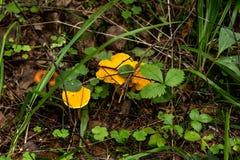 Лисичка Лето Forrest Стоковая Фотография