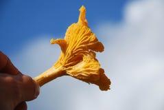 лисичка Стоковые Фотографии RF