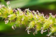 Лисохвост Knotroot, худенькая трава голубя конец вверх Макрос Стоковое фото RF