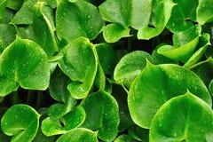 листает вода дождя лилии Стоковые Изображения
