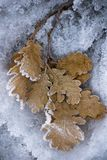 листает дуб Стоковое Фото