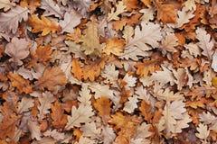 листает дуб s Стоковые Изображения RF