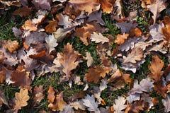 листает желтый цвет дуба s Стоковое Изображение