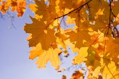 листает желтый цвет клена Стоковая Фотография