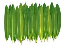 листает oleander Стоковые Фотографии RF