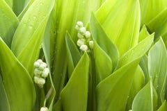 листают лилии Стоковые Изображения