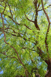 Листва дерева Mesquite Стоковые Фотографии RF