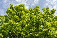 Листва зеленого цвета каштана стоковое изображение rf