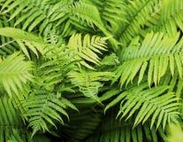 Листва зеленого цвета лист папоротника естественная предпосылка завода Стоковая Фотография