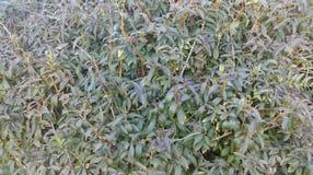 Листва изгороди поздним летом стоковая фотография rf