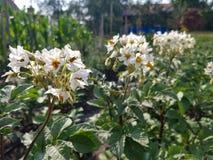 Листва картошек с цветками Стоковые Фотографии RF