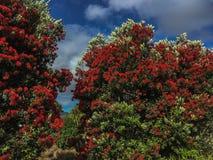 Листва Новая Зеландия Pohutakawa Стоковое Фото