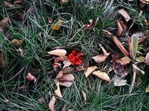 Листва осени с взгляд сверху травы и rowanberry Стоковое фото RF