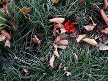 Листва осени с взгляд сверху травы и rowanberry Стоковая Фотография RF