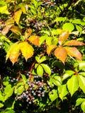 Листва покрашенная осенью и фиолетовые ягоды Стоковые Изображения RF