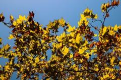 Листва покрашенный плоского дерева Стоковое Изображение RF