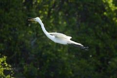 Листва прошлого летания Egret темная в болоте Флориды Стоковые Фотографии RF
