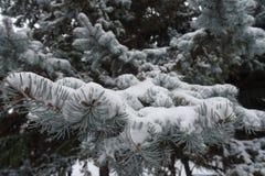 Листва сизоватого зеленого цвета спруса покрытая с снегом стоковые изображения rf