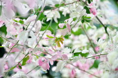 Листва dulce Pithecellobium Стоковые Фото