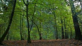лиственная стойка hornbeam главным образом тенистая стоковое фото rf