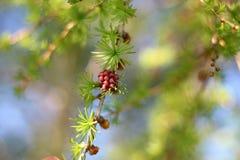 Лиственница весной с красным конусом на ветви Стоковое Фото