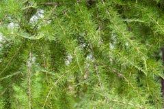 Лиственница ветвей предпосылки зеленая Стоковые Фотографии RF