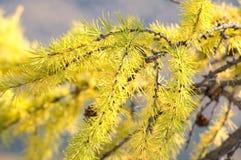 лиственница ветви Стоковое Фото