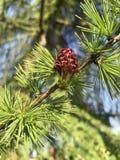 Лиственница или Larix Стоковые Фотографии RF