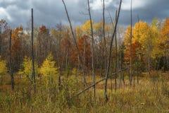 Лиственница и клены, осень стоковое фото