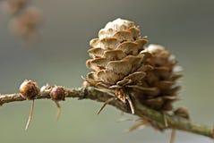 лиственница конуса Стоковое Изображение RF
