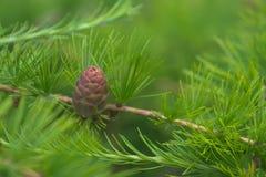 лиственница конуса Стоковые Фото
