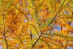 лиственница падения золотистая Стоковое Фото