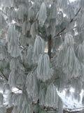 Лиственница под снегом Стоковая Фотография RF