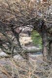 Лиственница разветвляет весной в парке Стоковые Фото