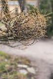 Лиственница разветвляет весной в парке Стоковая Фотография