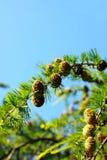 лиственница части ветви над небом Стоковое Изображение