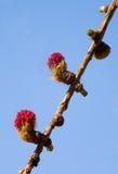 лиственница Стоковые Фото