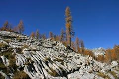 Лиственницы Dolina Triglavskih Jezer осени Triglav NP Стоковые Изображения