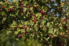 Лиственное дерево боярышника Стоковые Изображения