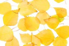 листво березы Стоковая Фотография RF