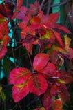 листво осени цветастое Стоковое фото RF